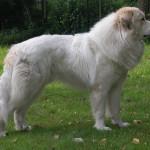 pyreneese-berghond-cadell-7