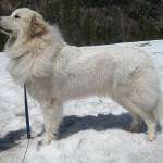 pyreneese-berghond-ebony-10