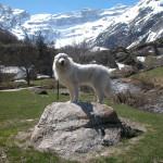 pyreneese-berghond-ebony-8