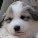 pyreneese-berghond-pup-2