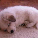 pyreneese-berghond-pup-ebony-1