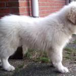 pyreneese-berghond-pup-neala-4
