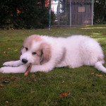 pyreneese-berghond-puppies-4