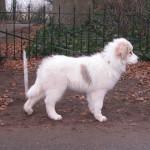 pyreneese-berghond-puppy-ebony-3